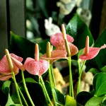 fiji wedding flowers anthurium pink