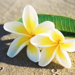 fiji wedding flowers frangipani